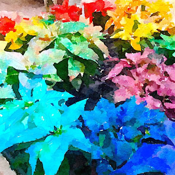 Painted in Waterlogue-Poinsettias