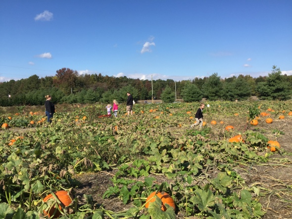 Pumpkin picking on Saturday? Absolutely!