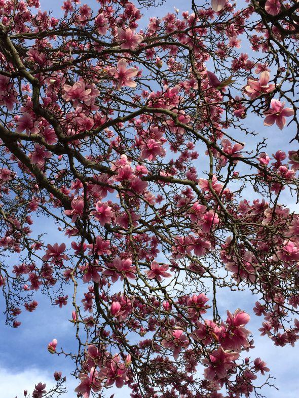tulip tree 2016